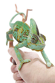 Veiled Chameleon Care Sheet