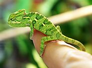 The Veiled Chameleon Care Guide - The Critter Depot