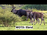 Word of the Day #14 - Today's Word of the Day is Eland