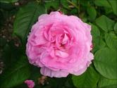 Gertrude Jekyll Rose, English Roses, David Austin Roses