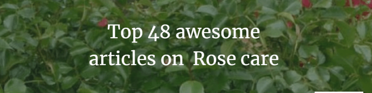Headline for The top 48 amazing rose growing and aftercare guide