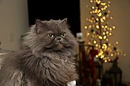 The Persian cat: personality, traits, and history - Love4pets.club