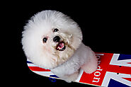 What Can Bichon Frise Not Eat? - SPIRE PET