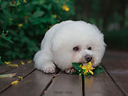 Can Bichon Frise Dogs Eat Fruit? - SPIRE PET