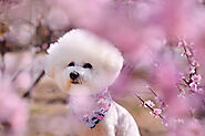 When Should You Commence Bichon Frise Puppy Training? - SPIRE PET