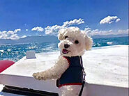 How Long Can Bichon Frise Be Left Alone? - SPIRE PET