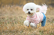 10 Best Harness for Bichon Frise Dogs - SPIRE PET