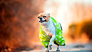 Do You Need to Groom a Chihuahua? - SPIRE PET - All The Things You Want To Know About The pets!