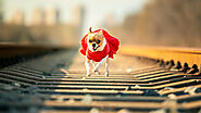 Why Does My Chihuahua Refuse To Walk? - SPIRE PET - All The Things You Want To Know About The pets!