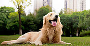 20 Foods To Avoid For a Golden Retriever - SPIRE PET
