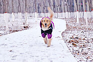 How Much Exercise Does a Golden Retriever Need? - SPIRE PET