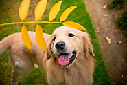 Old Golden Retriever health problems- Ways to treat and ease them! - SPIRE PET