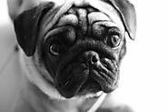 20 Reasons to Get Pet Insurance for Your Pug - SPIRE PET
