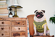 Why Do Pugs Fart So Much? Causes & Solutions - SPIRE PET