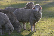 10 most popular breeds of wool,meat and dairy sheep