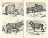 List of sheep breeds - Wikipedia, the free encyclopedia