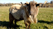 Breeds of Livestock - Sheep Breeds