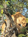Photography: Lion in a Tree