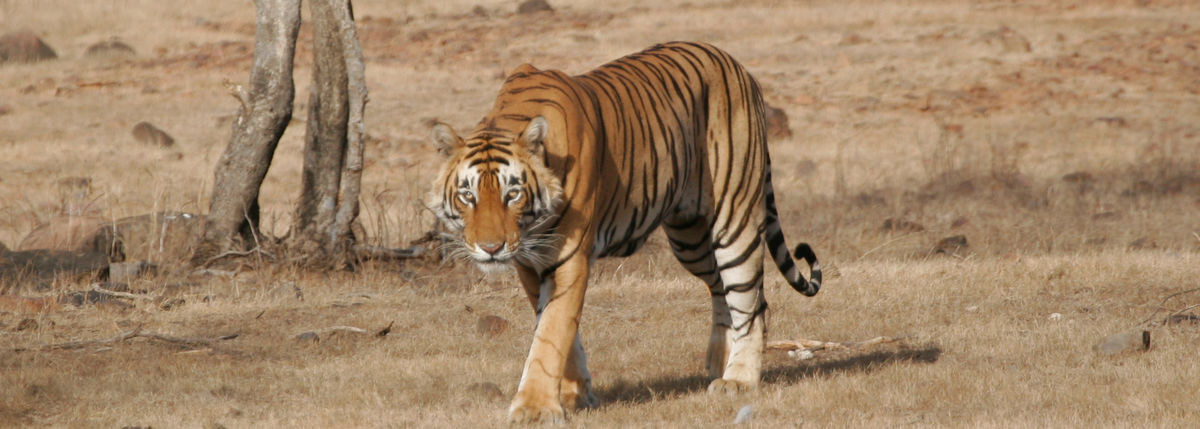 Headline for List of Places Where You Can See A Tiger in India