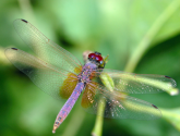 The World's Top 10 Most Amazing Dragonflies