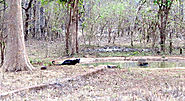 Black Panthers Make their way in Reserve Forest of Maharashtra and Odisha