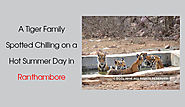 Tiger Family Spotted in Ranthambore National Park