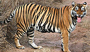 Relocation of Three Tigers to Mukundra from Ranthambore