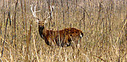 Shifting of Eastern Swamp Deer for Conservation Purpose: Kanha National Park
