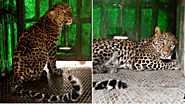 Second Tale of Leopard Rescue in Maharashtra Within A Week. Leopard Rescued from A 50 Feet Well