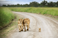 Interesting Photo of the Day: Baby Lion Walks Proud