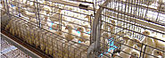 Poultry Cage, GE Royal Plus Pullet