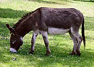 Donkey Antibody Production