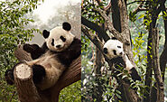 Just Some Videos Of Adorable Pandas Doing What They Do Best - Enjoy Life As It Happens - Viral Bake