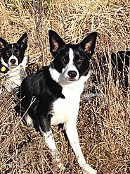 Full Tilt Border Collies: Threshholds and Gig