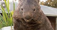 The oldest wombat in captivity celebrates 30th birthday on Tinder