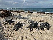 Sea turtles set new nesting records in Florida, Georgia