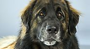 Leonberger Dog Breed Information