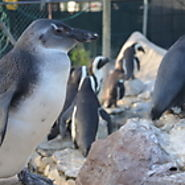 Wild About African Penguins: Stubby - The Little Penguin That Could