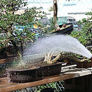 Watering Bonsai