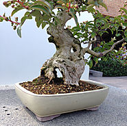 Deadwood on Bonsai