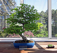 Deciduous Bonsai