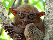 The Tarsier