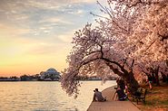 Facts About Washington DC's Cherry Blossom Festival