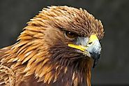 2. Golden Eagle