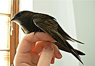 4. Common swift