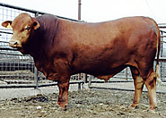 Best American Cattle Breeds