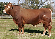 Cattle for Sale in Texas