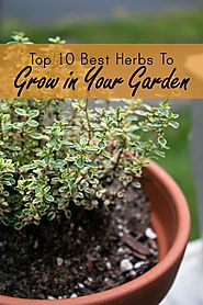 Best & Easiest Herbs to Grow in a Garden or Container