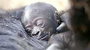 Cute Baby Gorilla Born at the San Diego Zoo