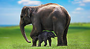 Life Span of an Asian Elephant